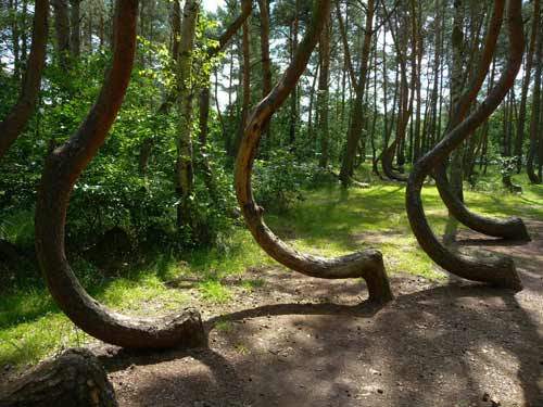Bent Trees Forest Nature Poland